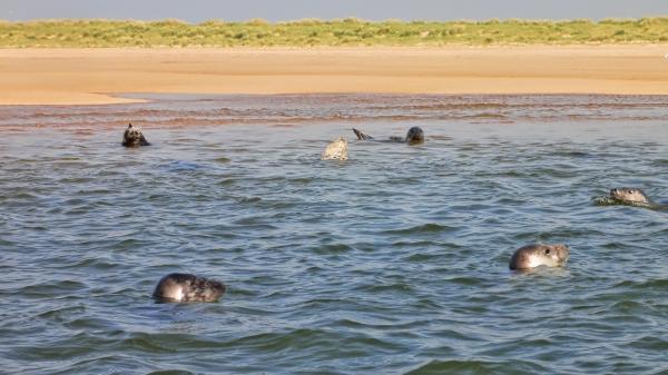 Seehunde im Meer